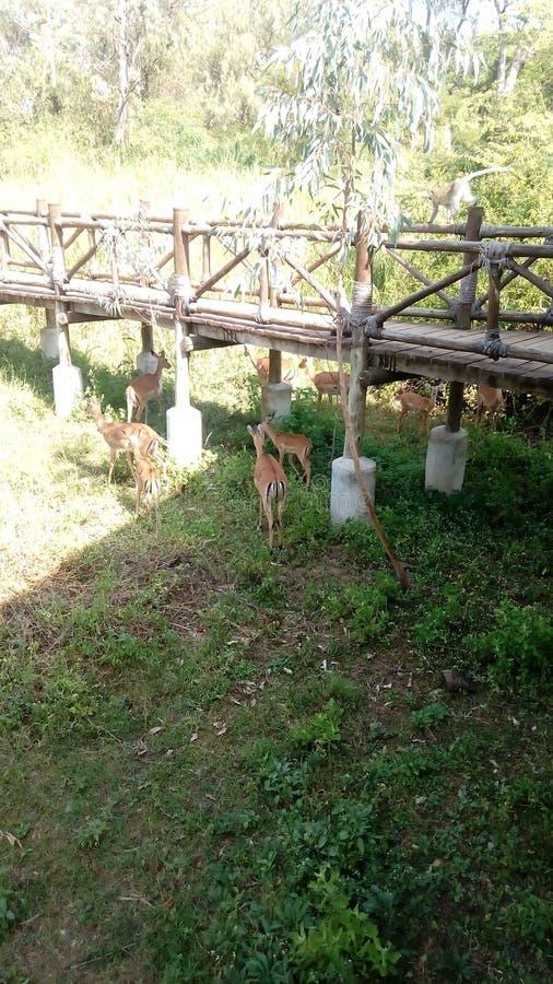 antilopen lizenzfreies stockfoto