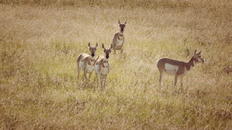 Antilopen-Herde auf einem Gebiet in Colorado lizenzfreies stockbild