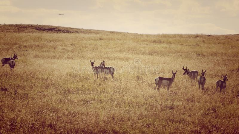 Antilopen-Herde nahe einem Flughafen lizenzfreie stockbilder