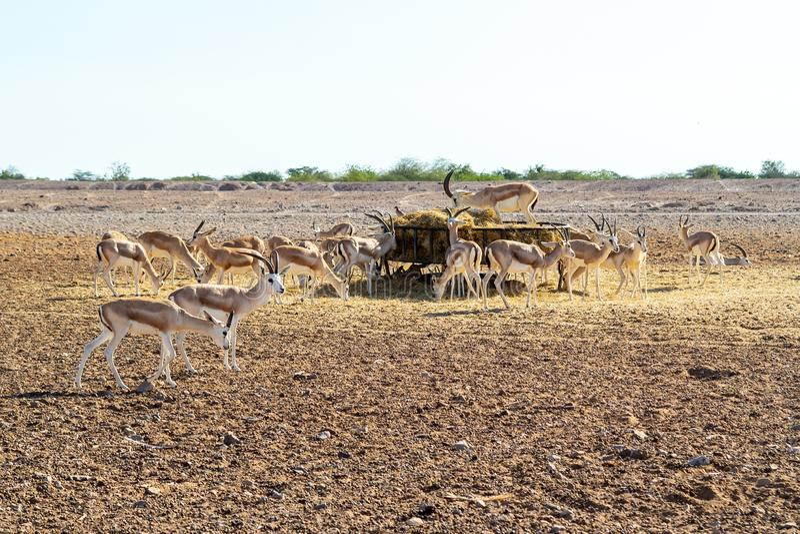 Antilopengruppe in einem Safari-Park auf der Insel von Sir Bani Yas, Arabische Emirate stockfotografie