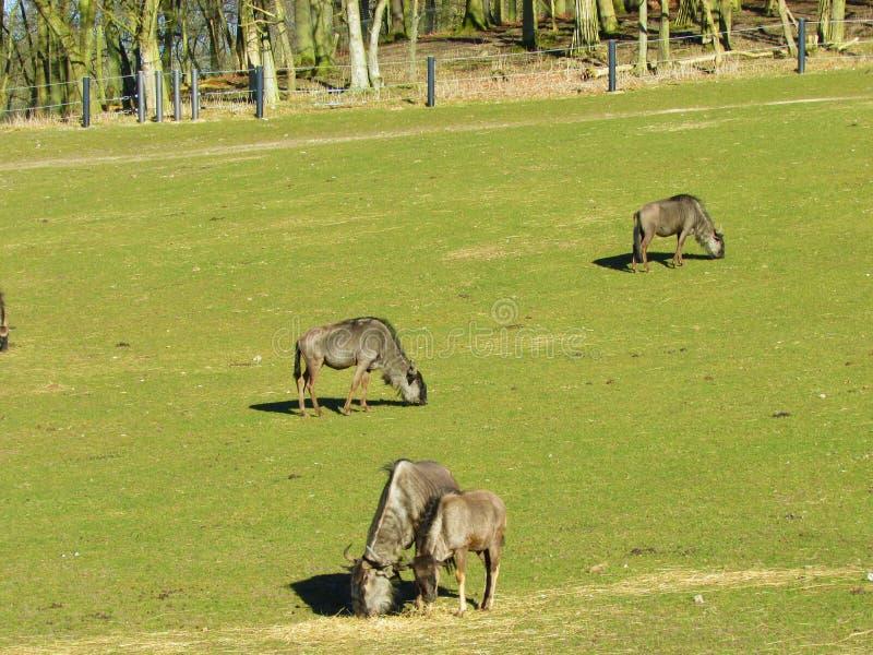 Antilopentiere Wild lebende Tiere in der Safari stockbild