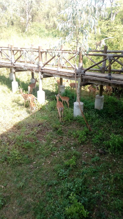 antilopes photo libre de droits