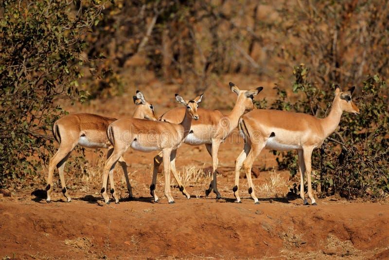 Antilopes d'impala - parc national de Kruger photos stock