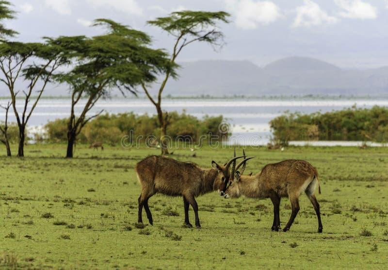 Antilopes de combate foto de stock