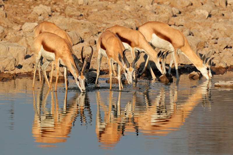 Antilopes de springbok au point d'eau photos libres de droits