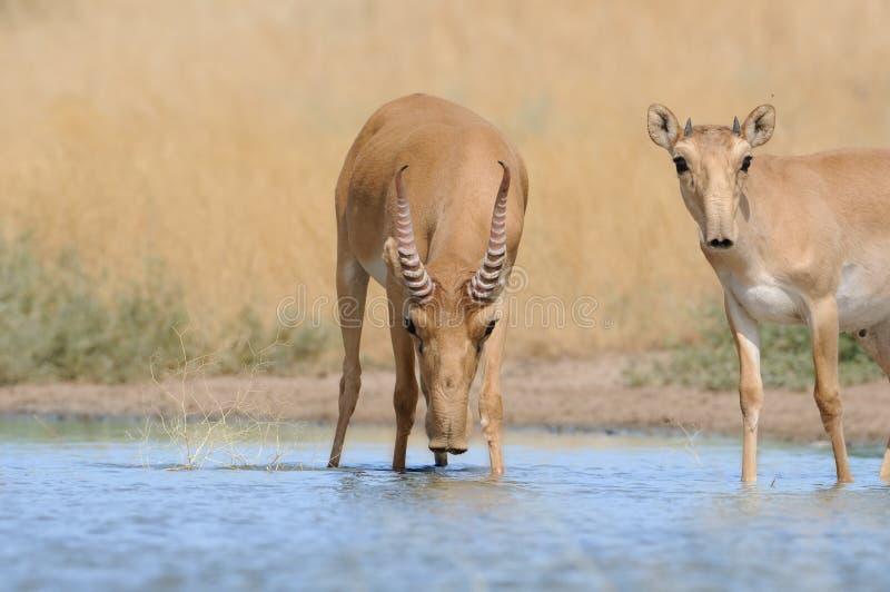 Antilopes masculines de Saiga d'adulte et de jeunes près de l'endroit d'arrosage dedans images libres de droits
