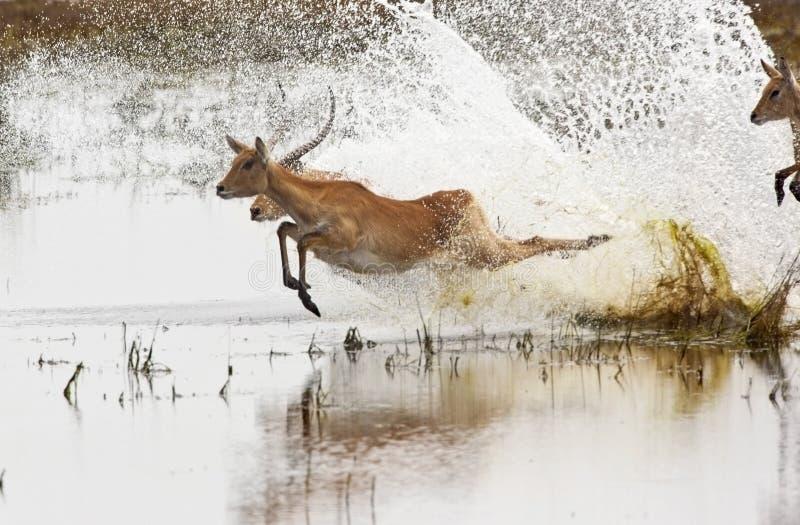 Antilopes rouges de Lechwe - Botswana photographie stock libre de droits