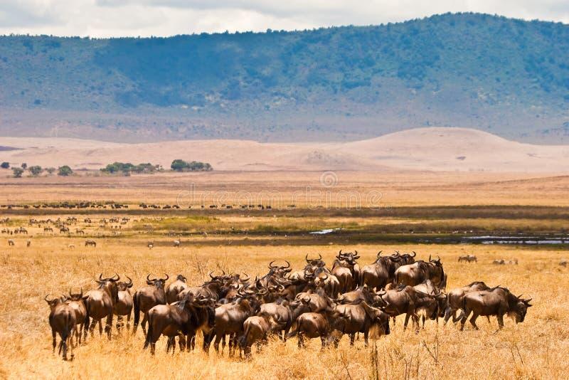 antilopflockwildebeest royaltyfri fotografi