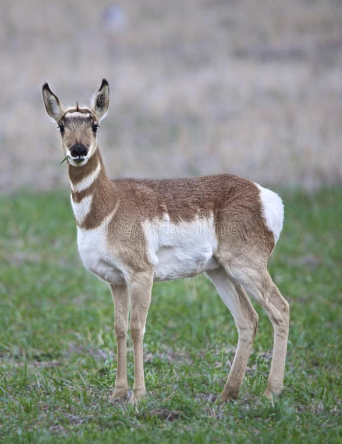 Antilophjortar som betar i skogen arkivfoton
