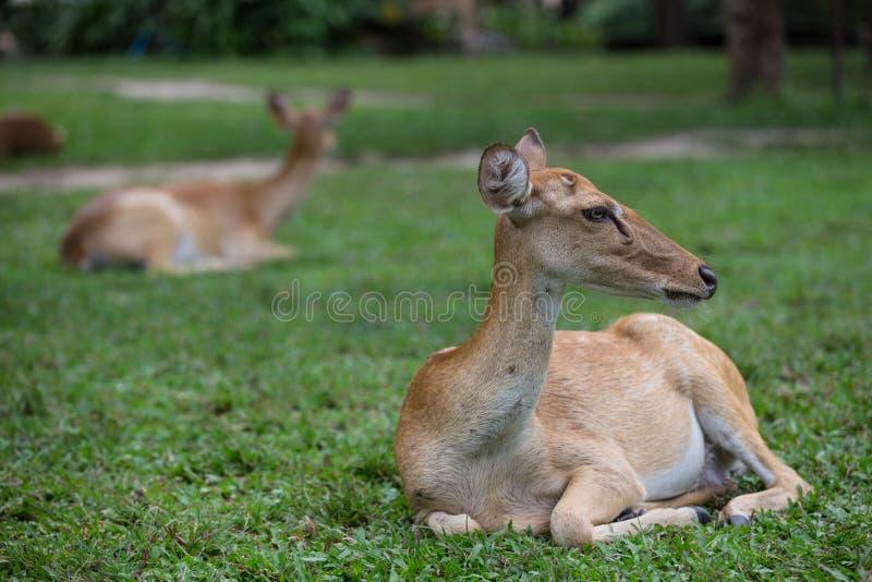 Antilophjortsammanträde på gräset royaltyfri foto
