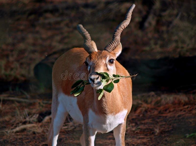 Download Antilopi di Blackbuck immagine stock. Immagine di california - 7305061
