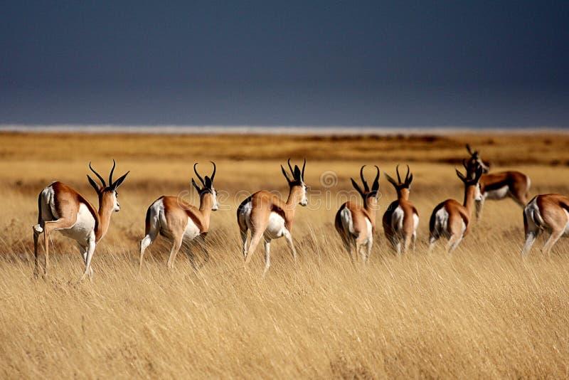 Antilopi saltante nella sosta di Etosha fotografia stock libera da diritti