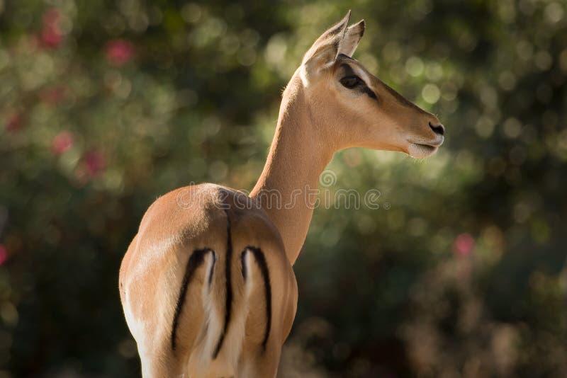 antilopimpala royaltyfria bilder