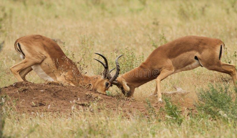 antilopimpalamanlig arkivfoto