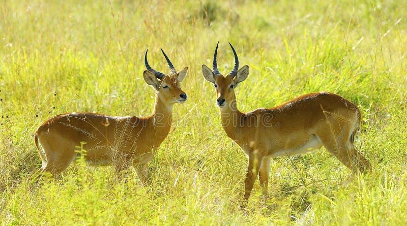 Download Antilopkamp i fältet fotografering för bildbyråer. Bild av framsida - 27282205