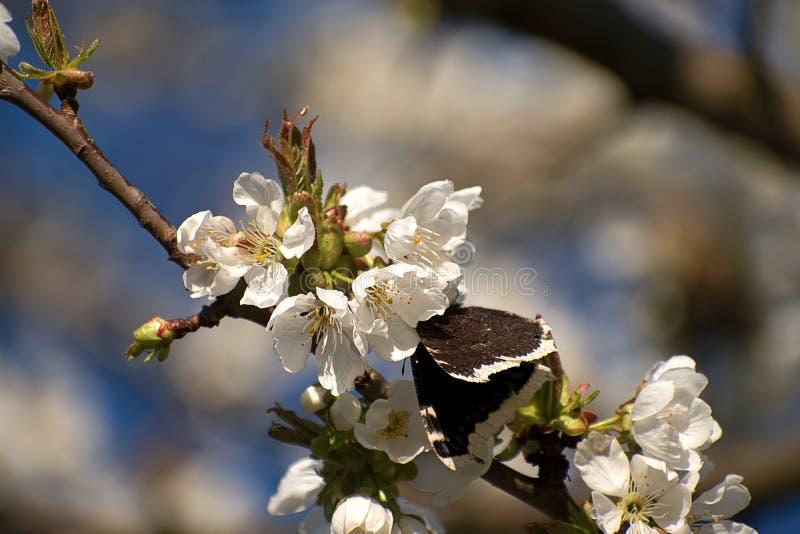 Antiopa многоцветницы бабочки на вишневом цвете Белые вишневые цвета весной r стоковое изображение