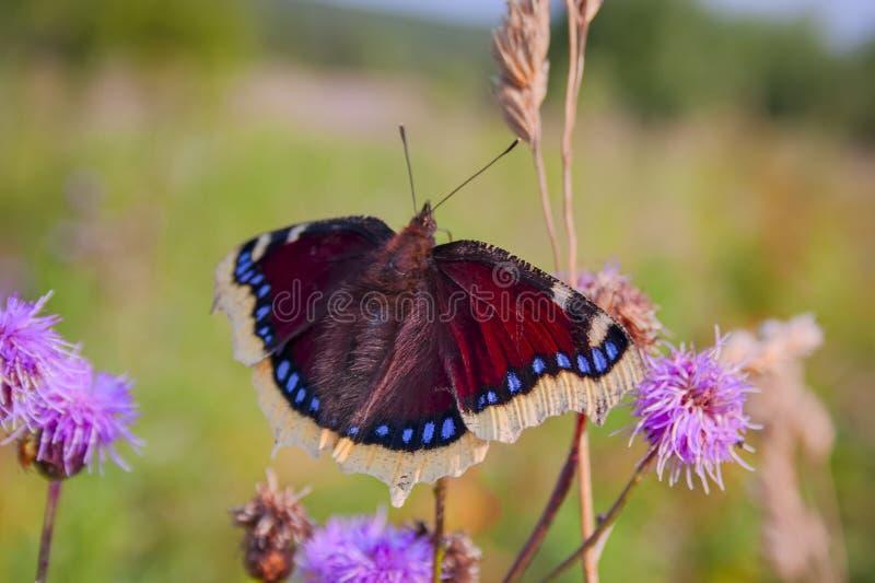Antiopa de Nymphalis de manteau de deuil de papillon se reposant sur une fleur sur un fond brouillé photographie stock