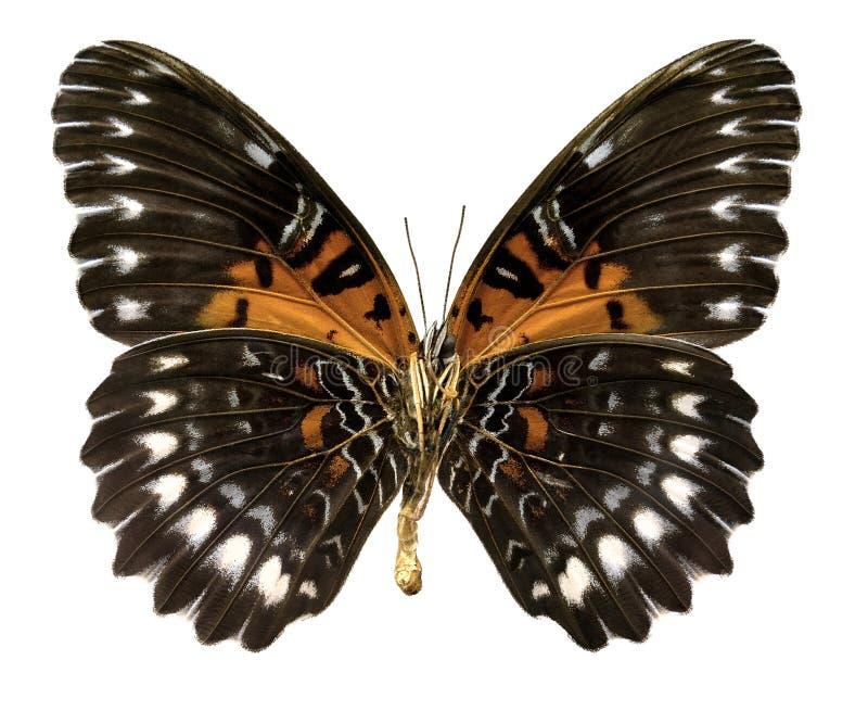 Antippe för fjärilsCethosia obscura (den snabba banan) royaltyfri foto