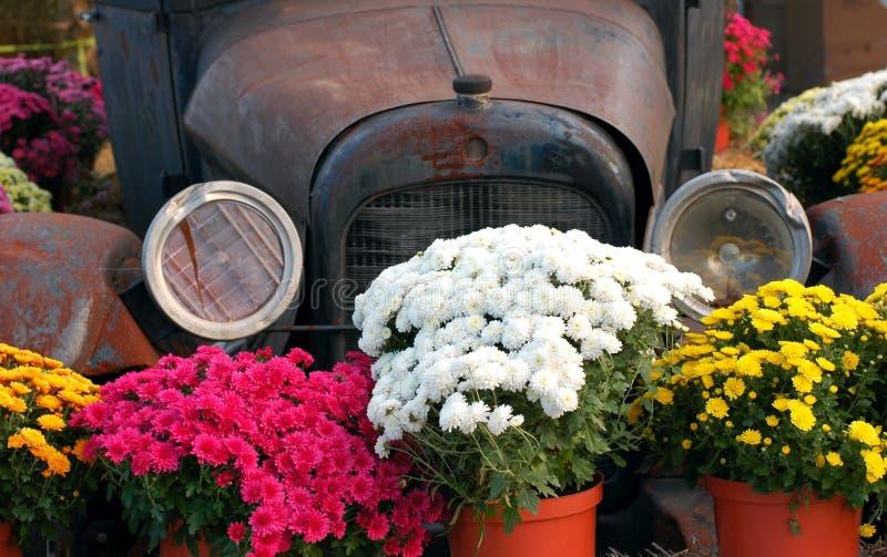 Antique Car and Mums stock photos