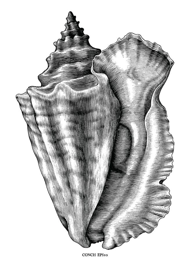 Antique engraving illustration of Conch black and white clip art isolated on white background. Animal of the sea royalty free illustration