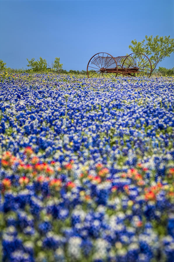 Antique farm equipment in a field of bluebonnets. Temporal contrast between an old piece of farm equipment sitting in a field of fleeting Texas bluebonnets stock photography