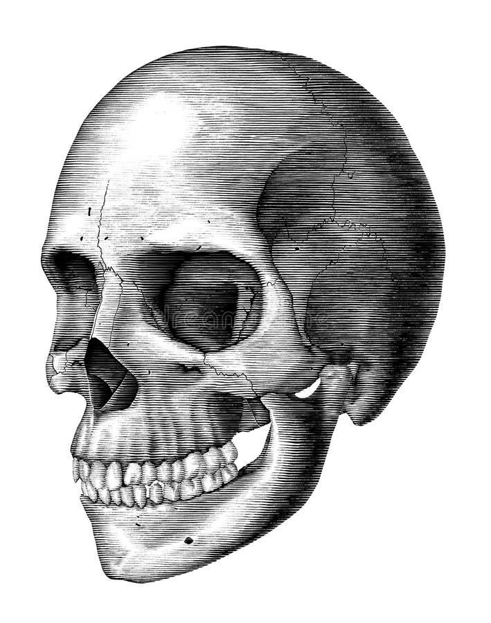 Antique of Human skull vintage engraving illustration isolated on white background stock illustration