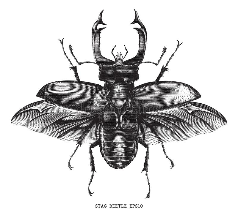 Antique of insect stag beetle bug illustration engraving vintage. Style isolated on white background royalty free illustration