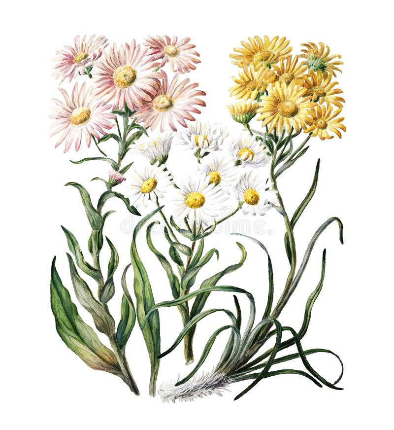 Free Antique Plant New Zealand Snow Groundsels Drawn Royalty Free Stock Photography - 127010377