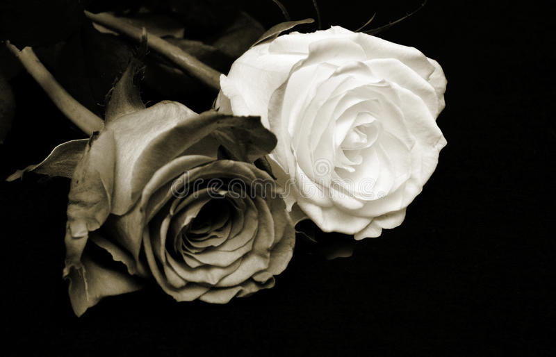 Antique roses stock photography