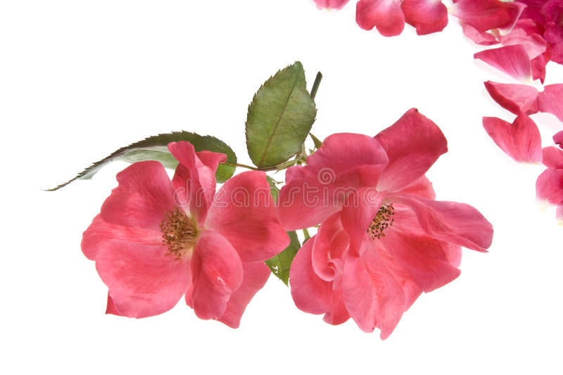 Antique Tea Roses isolated on white royalty free stock images
