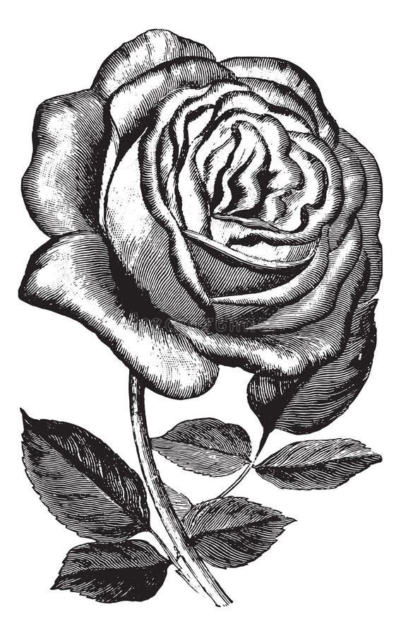 Antique Vintage Rose Illustration Vector Clipart Stock ...