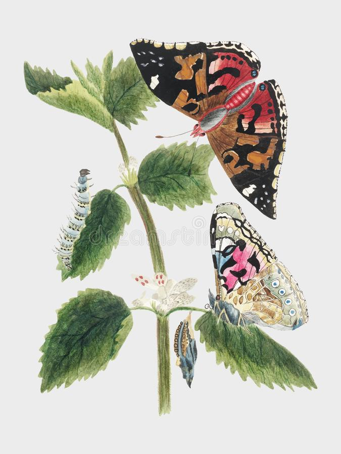 Free Antique Watercolor Illustration Of Nettle Butterfly In Various Life Stages Published In 1824 By M.P. Digitally Enhanced By Rawpixe Royalty Free Stock Images - 125509569