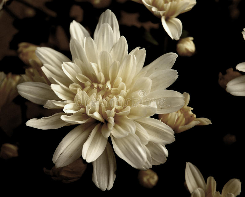 White flower. Sepia toned white antique style flower royalty free stock images
