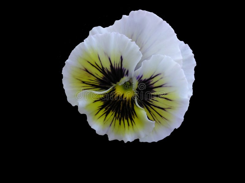 Antiques Hybrid Pansy Isolated royalty free stock photos