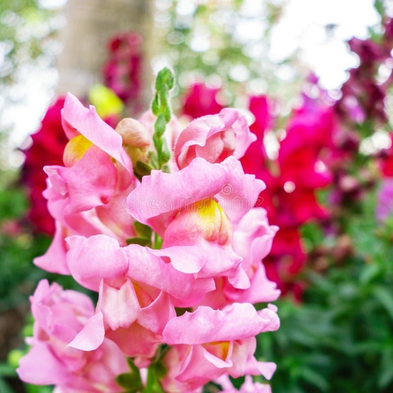 Antirrino carmesí rosado fotografía de archivo