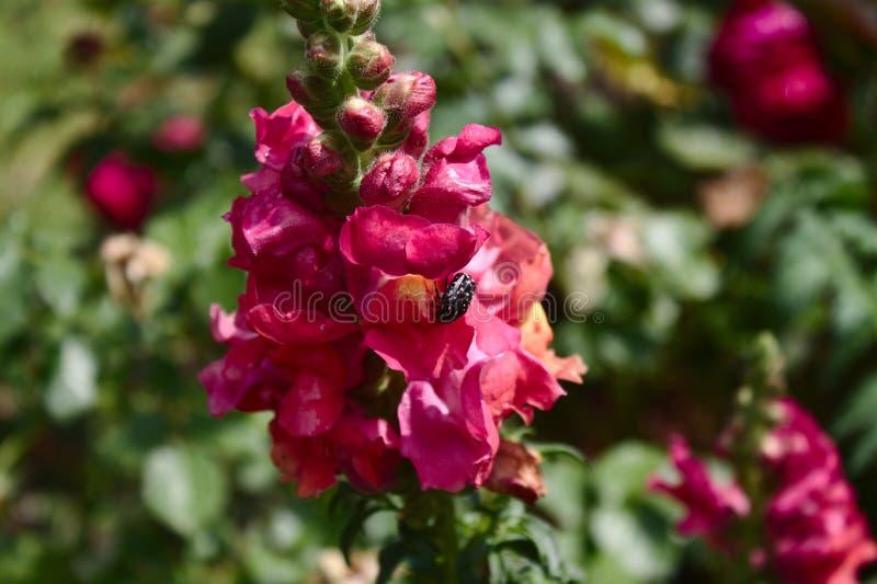 Antirrino rosado con un escarabajo color de rosa blanco-manchado foto de archivo libre de regalías