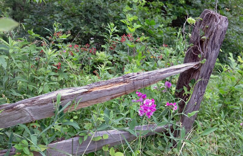 Antirrinos que crecen a lo largo de una cerca olvidada foto de archivo