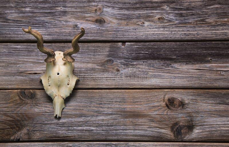 Antler или рожок на деревянной предпосылке Трофей звероловства стоковая фотография