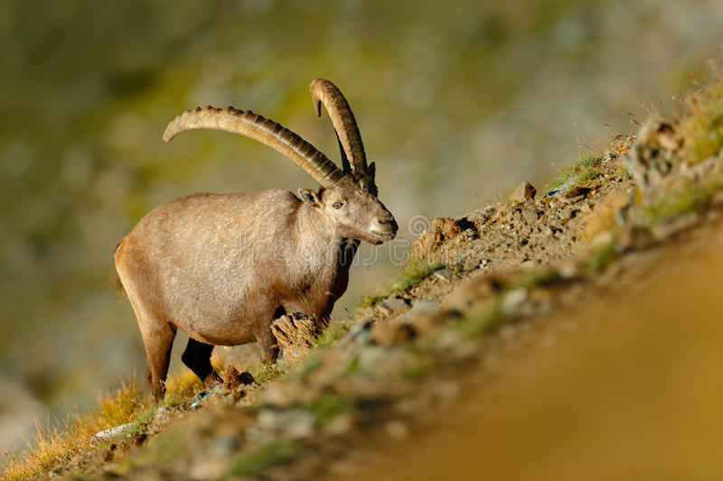 Antler Alpine Ibex, Capra ibex, scratching animal with coloured rocks in background, animal in the nature habitat, France. Wildlife from Europe stock photos