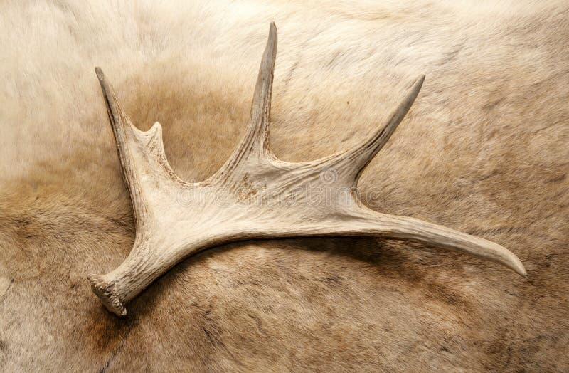 Antler deer horn. On reindeer fur vintage royalty free stock images