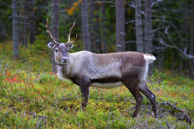An Antlered Reindeer In Pine Forest Royalty Free Stock Images