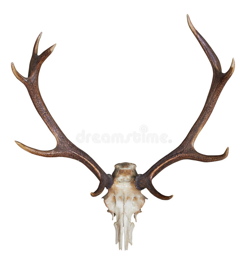 Antlers Of A Huge Stag Royalty Free Stock Photography
