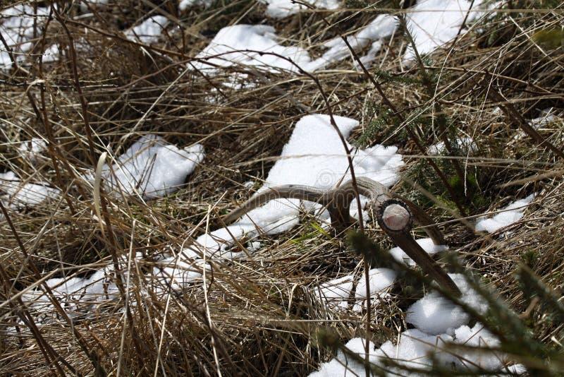 Antlers op bevroren grond, Slowakije royalty-vrije stock foto's
