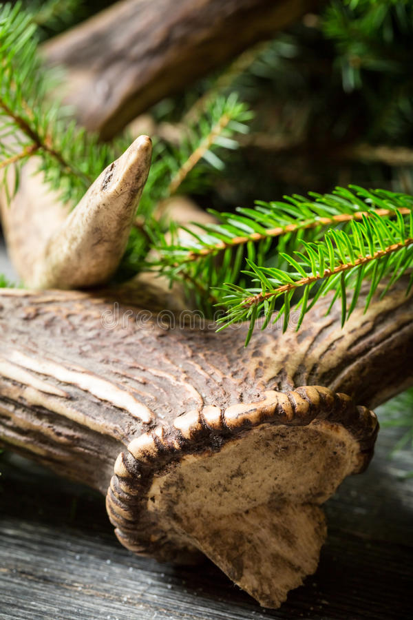 Antlers surrounded by spruce royalty free stock photo