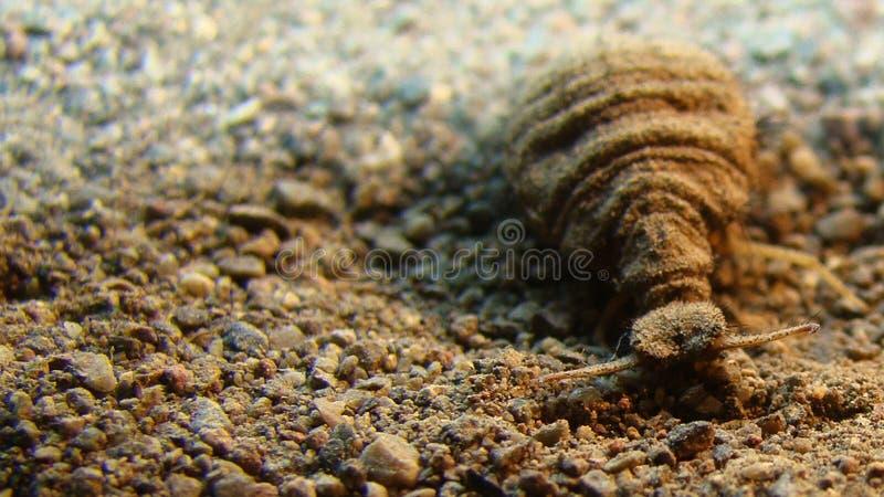 Antlion | larva fotografia de stock