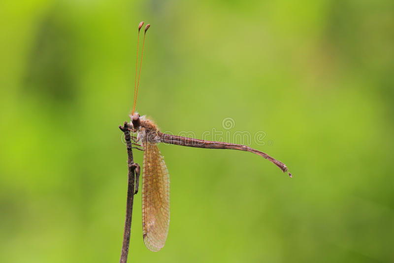 Antlion in Thailand. Antlion in Thailand and Southeast Asia royalty free stock photography