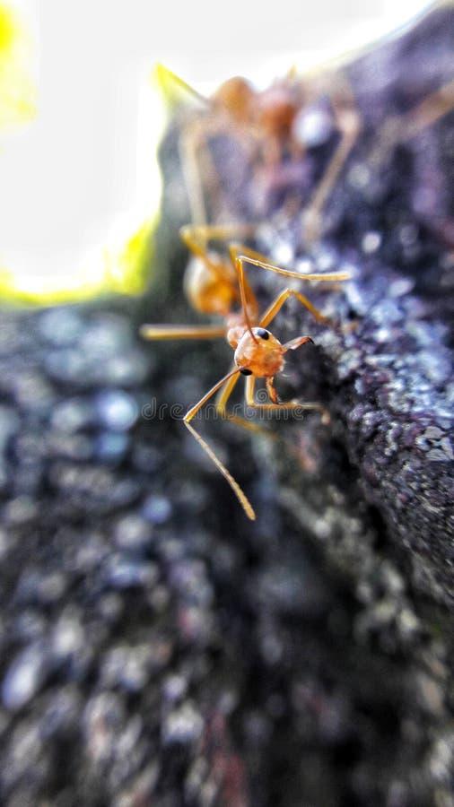 Antología de hormigas foto de archivo