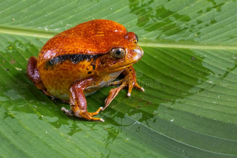 antongili dicophus青蛙拉丁命名蕃茄 免版税图库摄影