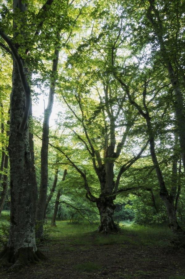 ` Antonio Forest de Bosco di Sant, Abruzzo, Itália imagem de stock