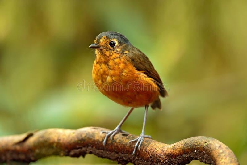 Antpitta bicolor, rufocinerea de Grallaria, pájaro de Colombia Pájaro raro en el hábitat de la naturaleza Antpitta en bosque oscu fotos de archivo